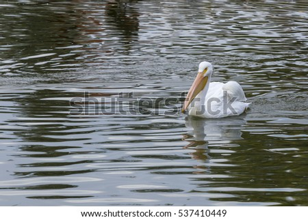 A large Pelican on the water #537410449