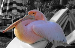 A large pink pelican with a long beak sits on a sun lounger on a beach in Cyprus. Wild rare bird.