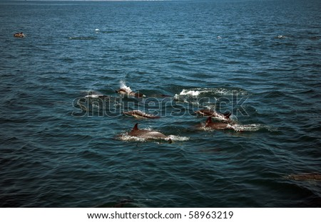 """A Large POD of California common dolphin """"Delphinus delphis"""" swim jump splash play and eat  in the warm pacific ocean off the coast of southern california"""