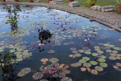 A large pond filled with a variety of pink and purple water lily flowers and pads plus elephant ear plants edged with a walking path, boulder and potted plants