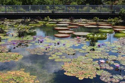 A large pond filled with deep purple, light purple and pink water lily flowers, lily pads, and various water plants in the summer