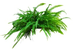 a large potted plant. Fern isolated on white background