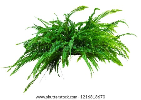 a large potted plant. Fern isolated on white background #1216818670