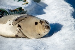 A large pregnant harp seal lays on a white bed of snow sunning itself. The wild animal is sleeping. It has grey fur with dark spots, light grey fur with dark spots, long whiskers, and flippers.