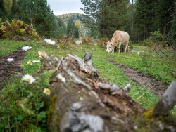 A large red cow with horns grazes in the village among tall coniferous trees and chews grass.