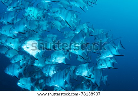 A large school of Atlantic Spadefish in open water.