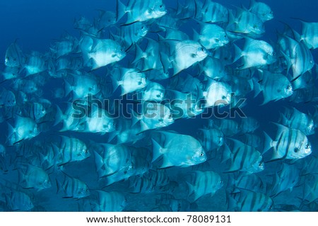 A large school of Atlantic Spadefish swimming over a sandy bottom.