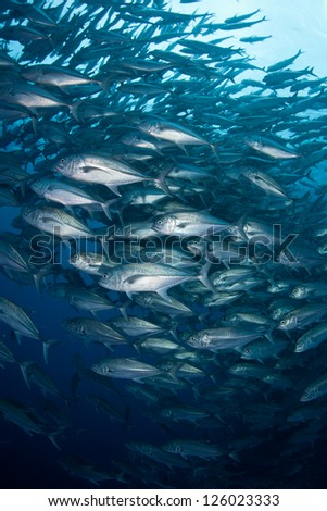 A large school of Horse-eye jacks (Caranx sexfasciatus) swirls in deep water off of Cocos Island, Costa Rica.  This island is known for its large shark populations.