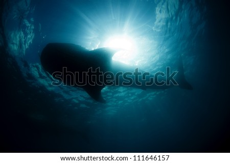A large silhouette of a whale shark  (Rhincodon typus) passes overhead