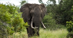 A large single male Elephant wandering the African bushveld.
