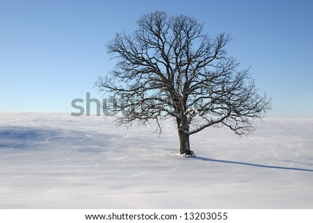 A large single oak tree on a cold clear snowy winter day. A small pretty bench sits at the base of the tree.