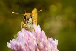 A large skipper butterfly, Ochlodes sylvanus. Beautiful butterfly on a clover flower. Place for text.