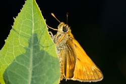 A large skipper butterfly, Ochlodes sylvanus. Beautiful butterfly on a green leaf on a dark background. Place for text.