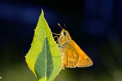 A large skipper butterfly, Ochlodes sylvanus. Beautiful butterfly on a green leaf.Place for text.