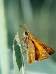 A large skipper butterfly, Ochlodes sylvanus. Beautiful butterfly on a green leaf. Place for text.