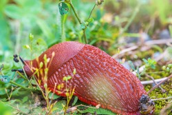 A large slug crawls on moss and grass. A slug crawls through the grass with his feelers out. The Spanish slug, also known by its scientific name Arion vulgaris and Arion lusitanicus.