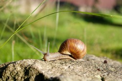 A large snail crawls over the stone on a cool morning. The snail has extended its long horns and slowly moves its slimy body over a huge stone.