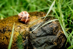 A large snail in a shell crawling on a stone, a summer day in the garden, An ordinary garden snail climbing on a stone, an edible snail.