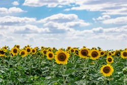 A large spacious field with blooming yellow sunflowers with large green leaves. Beautiful blue sky with clouds. Colorful landscape of nature in Russia with a crop of seeds
