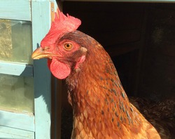 A large speckled hen looks out from her duck egg blue house, hens make great pets.
