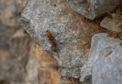 A large spider wasp that preys on tarantula spider, dragging its pray to a gap between the drywall stone