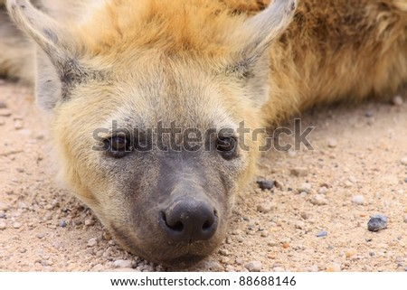 A large spotted hyena resting in the afternoon sun