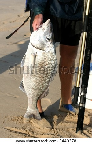 A large steenbras fish caught in the surf