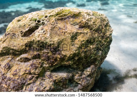 A large submerged limestone rock, in a central Florida freshwater spring, bears the imprints of fossilized shellfish; a reminder of the marine origins of this part of Florida near the Gulf Coast. #1487568500
