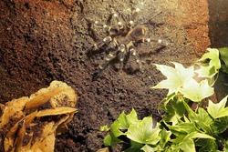 a large tarantula spider of the genus tliltocatl narrow sits on a rock in a terrarium . Brachypelma