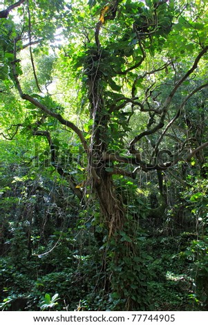 A large tree in a tropical rain forrest