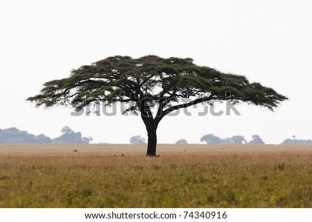 A large umbrella-shaped thorn tree in the Serengeti National Park