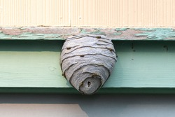 A large wasp hornet nest affixed to a green wooden building. The pesky insects are on the outside of the a papery pulp material type hexagonal comb, an outer covering with a single entrance.