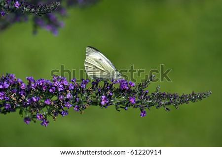 A Large White Butterfly On A Buddleia Shrub Zdjęcia stock ©