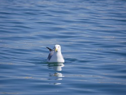 A large white gull swims on the sea in the bay on a sunny spring day. Seabirds searching for food near the shoreline.