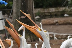 A large white pelican with a yellow plate on upper bill (which indicates the bird is a breeding adult) catches a fish thrown out by a zoo keeper at mealtime.