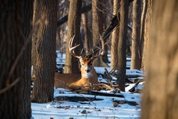 A large white tailed buck beds down amongst the trees.