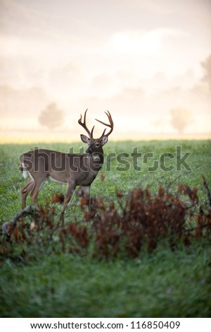 A large white-tailed deer buck in an open meadow