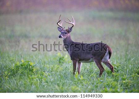 A large white-tailed deer buck walking through an open meadow