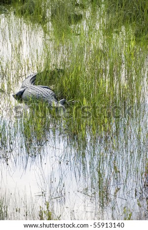 A large wild alligator stalks its breakfast deep in the Everglades.