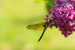 a large yellow dragonfly with a black back and transparent wings sits close-up on a branch of lilac. a branch of purple lilac with a dragonfly on it