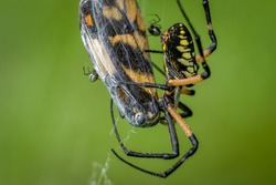 A large Yellow Garden Spider (Argiope aurantia) and few American Dewdrop spiders (Argyrodes elevatus) feast upon a captured butterfly. Raleigh, North Carolina.