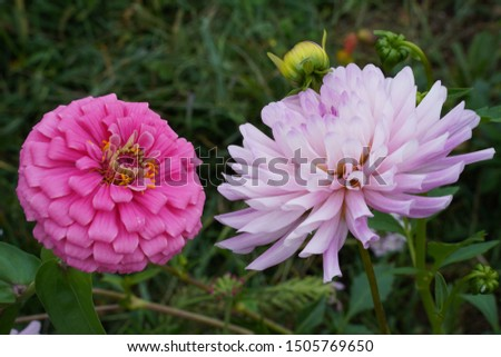 A large Zinnia and a Large Dahlia facing one another. Pink, purple flowers.