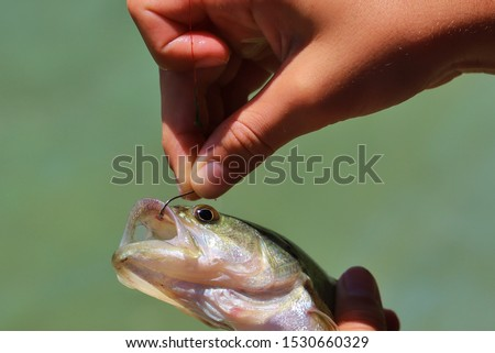 A Largemouth Bass caught by a child angler.  The fish is hooked through the upper lip, causing no pain to the animal.  Angling / Fishing is a fantastic hobby that puts man's soul at peace and harmony. #1530660329
