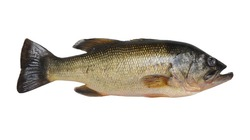 A largemouth bass fish isolated on a pure white background.