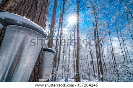 A late winter - early spring day in a maple woods.  Fresh fallen snow on a late winter, early spring day in a maple woods.  Maple sap buckets abound on trees in preparation for the coming season.