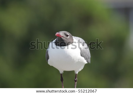 A Laughing Gull looking straight at you, standing on a wood railing