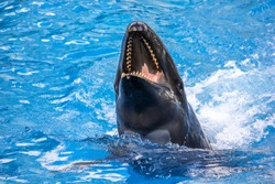 A laughing killer whale, Orcinus Orca, in the water.