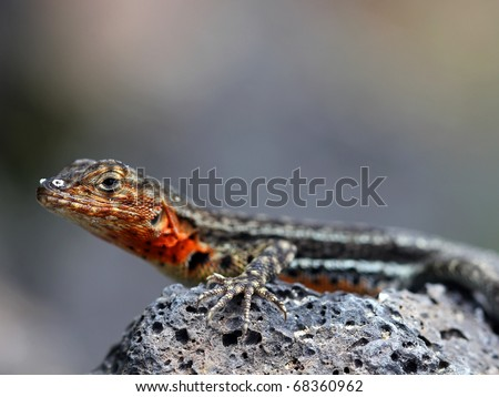 A Lava Lizard (Tropidurus sp.) in the Galapagos Islands (Isabela Island)