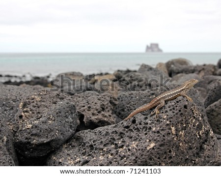 A Lava Lizard (Tropidurus sp.) in the Galapagos Islands (Isabela Island)--Kicker Island in background