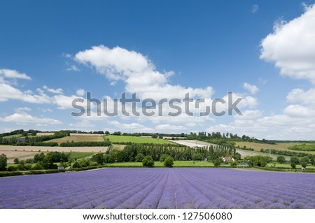 A lavender field in full bloom, Kent, UK, 2012